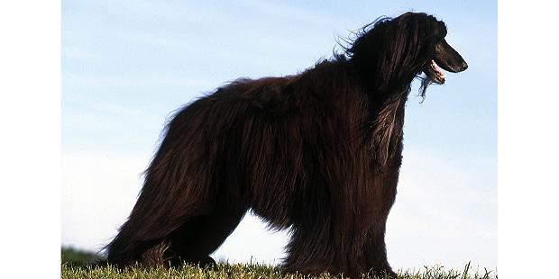 levrier-afghan-hound-tazi-kaboul-exterieur