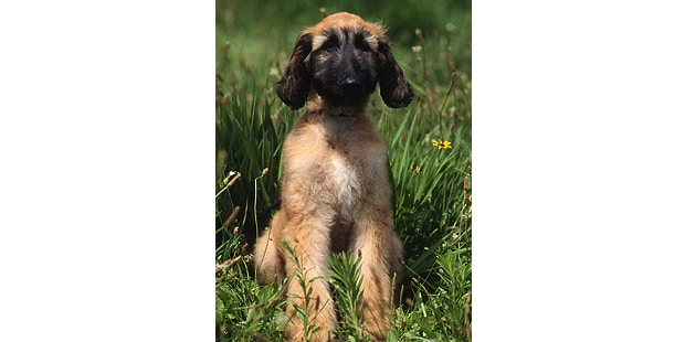 levrier-afghan-hound-tazi-kaboul-chiot