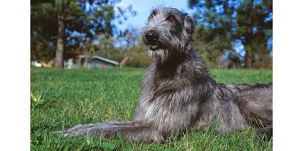 levrier-ecossais-anglais-Scottish-Deerhound-couche