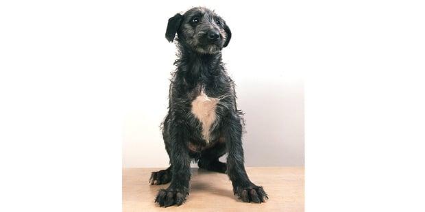 levrier-ecossais-anglais-Scottish-Deerhound-assis