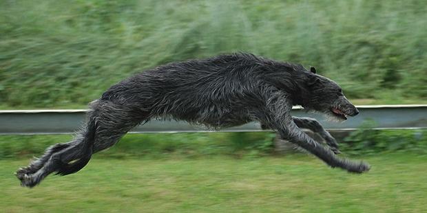 levrier-ecossais-anglais-Scottish-Deerhound-courir