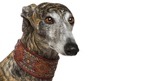 chien-levrier-espagnol-galgo-studio