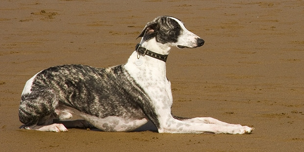 chien-levrier-espagnol-galgo-plage