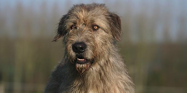 chien-levrier-irlandais-Irish-Wolfhound-portrait