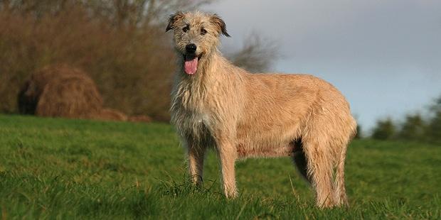 chien-levrier-irlandais-Irish-Wolfhound-campagne
