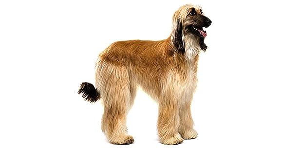 levrier-afghan-hound-tazi-kaboul