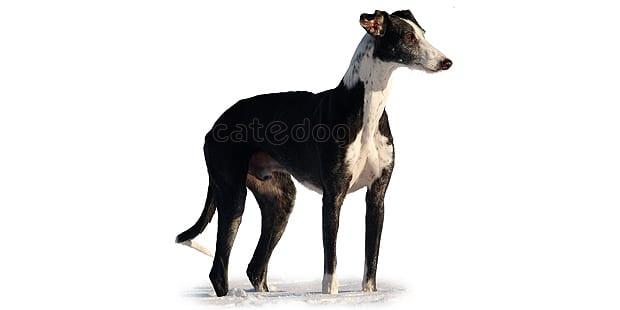 chien-levrier-espagnol-galgo