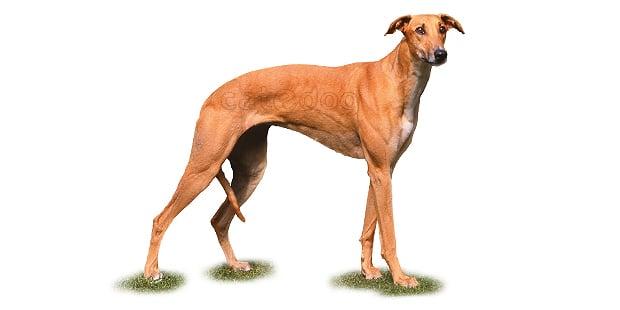 chien-levrier-hongrois-Magyar-Agar