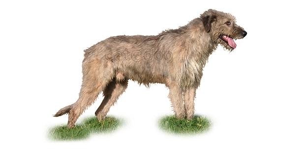chien-levrier-irlandais-Irish-Wolfhound