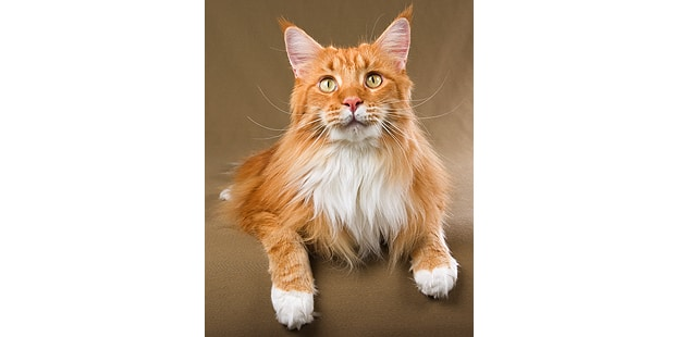 chat-maine-coon-face