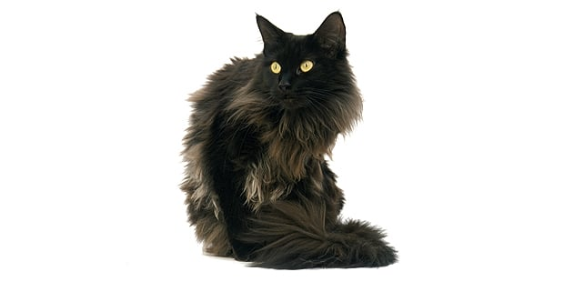 chat-maine-coon-noir