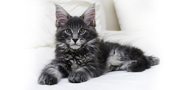 chat-maine-coon-couche