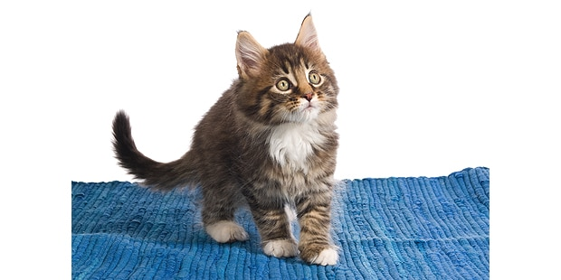 chat-maine-coon-chaton