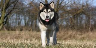 chien-malamute-alaska-alaskan-champs