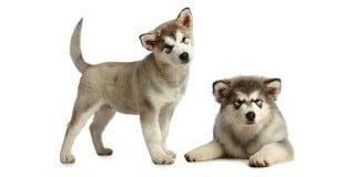 chien-malamute-alaska-alaskan-chiots