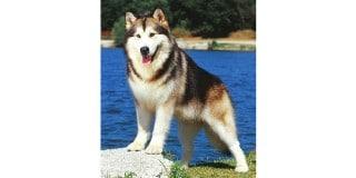 chien-malamute-alaska-alaskan-eau