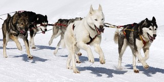 chien-malamute-alaska-alaskan-neige