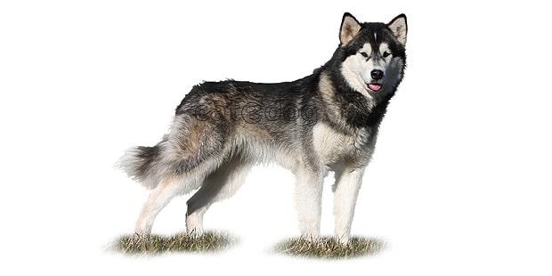 chien-malamute-alaska-alaskan