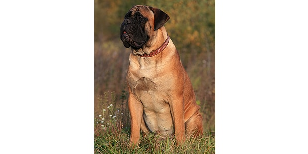 mastiff-dogue-anglais-English-Mastiff-assis