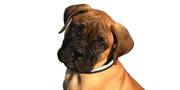mastiff-dogue-anglais-English-Mastiff-chiot