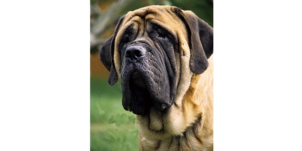 mastiff-dogue-anglais-English-Mastiff-tete