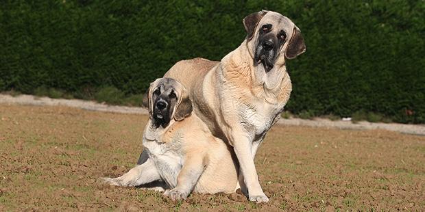 chien-matin-espagnol-estremadure-manche-couple