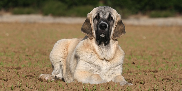 chien-matin-espagnol-estremadure-manche-champs