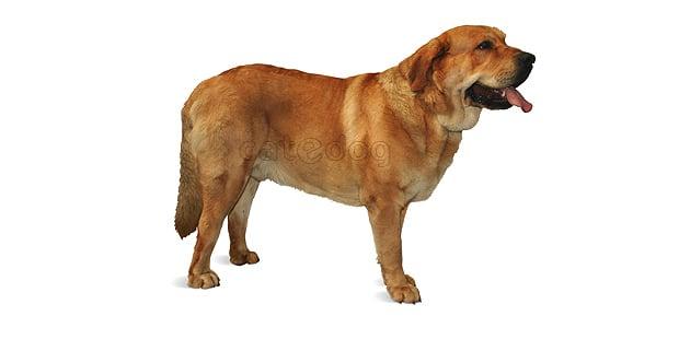 chien-matin-espagnol-estremadure-manche