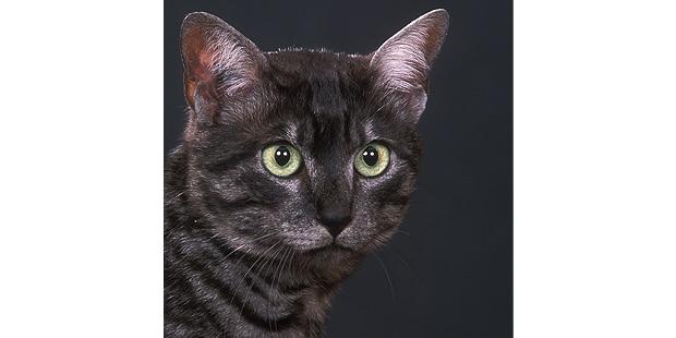 mau-egyptien-egyptian-noir