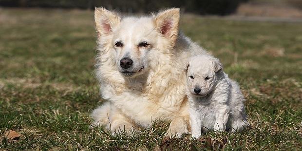 chien-mudi-hongrois-chienne-chiot