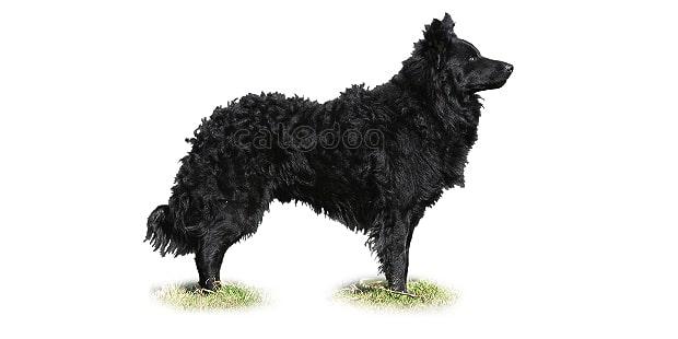 chien-mudi-hongrois