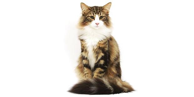 chat-forets-norvegiennes-skogkatt-norvegien-assis