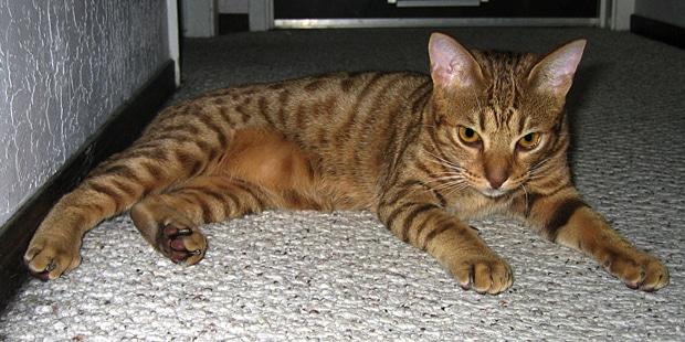 chat-ocicat-couche