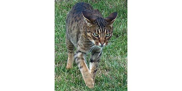 chat-ocicat-herbe