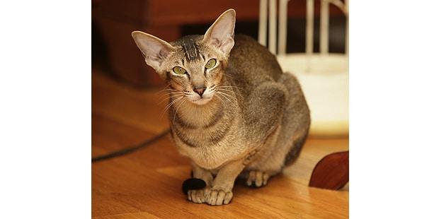 chat-oriental-interieur