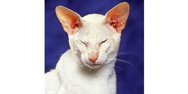 chat-oriental-blanc