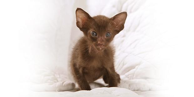 chat-oriental-chaton