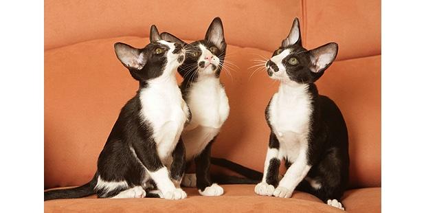 chat-oriental-trio