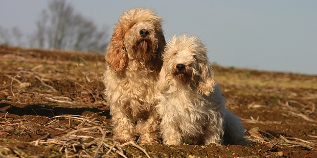 chien-petit-basset-griffon-vendeen-campagne