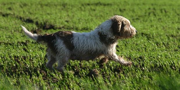 chien-petit-basset-griffon-vendeen-courir