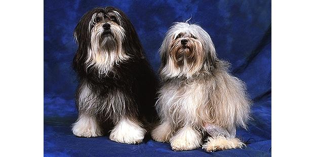 petit-chien-lion-lowchen-couple
