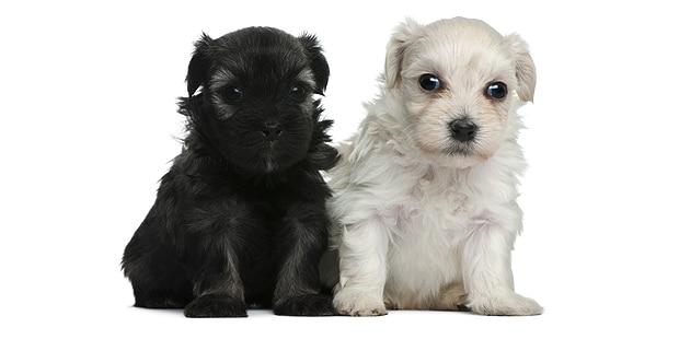 petit-chien-lion-lowchen-chiots