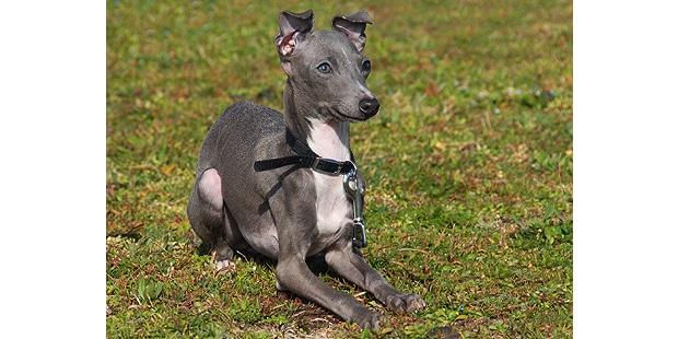 petit-levrier-italien-italian-greyhound-couche