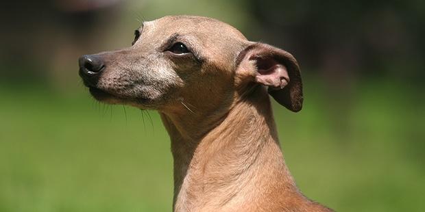 petit-levrier-italien-italian-greyhound-portrait