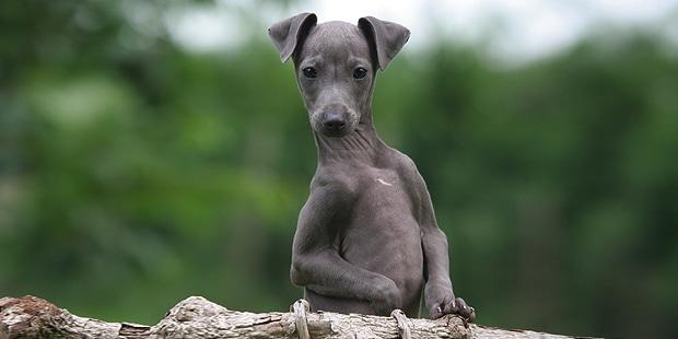 petit-levrier-italien-italian-greyhound-exterieur