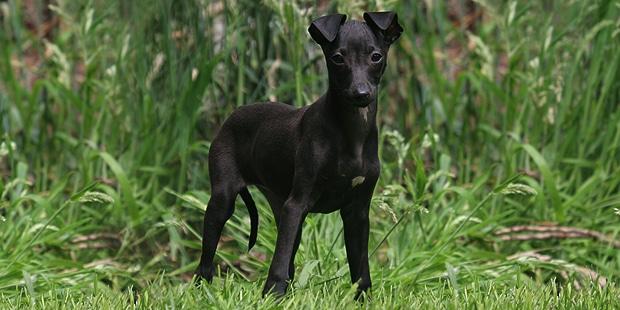 petit-levrier-italien-italian-greyhound-chiot