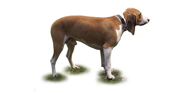 petit-chien-courant-suisse-bernois-lucernois