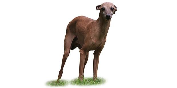 petit-levrier-italien-italian-greyhound
