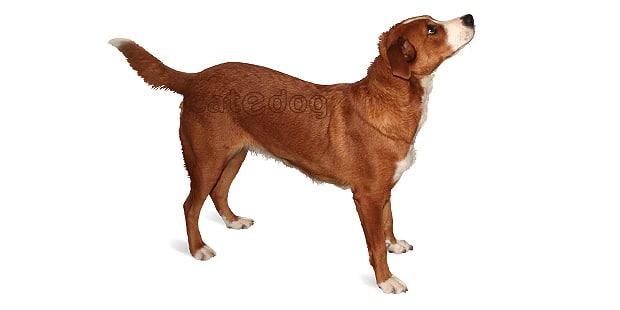 pinscher-autrichien-terrier
