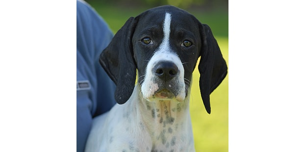 english-pointer-anglais-portrait